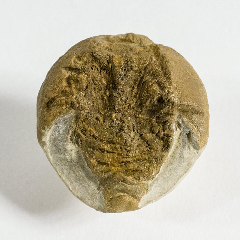 Paleolimulus Signatus Beecher The Natural Canvas